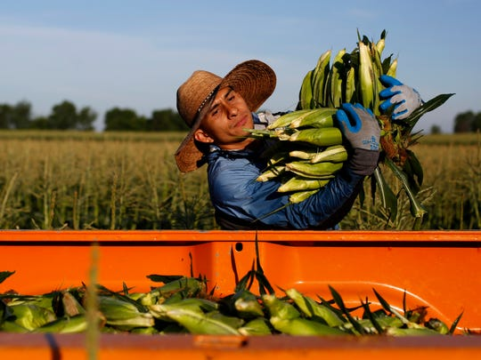 Jose Hernandez of Des Moines loads sweet corn into the back of a truck Friday, July 1, 2016, as workers with Grimes Sweet Corn pull the first batch of corn of season in Granger.