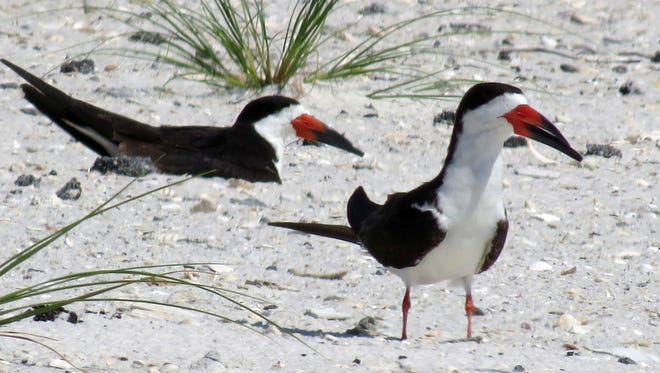 Black Skimmers inside the Fort Pickens area of the Gulf Islands National Seashore.