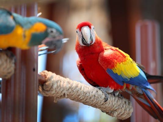 636325334026091879-Macaws-mk-10.jpg