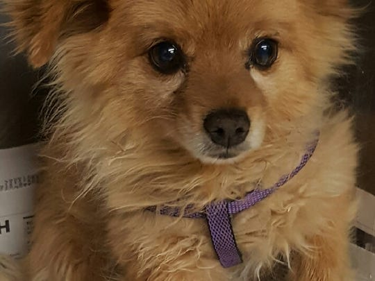 This 6-year-old male red Pomeranian was found in the 500 block of Spruce. He is neutered. For more information about adopting a Pet of the Week or other furry friends visit Alamogordo Animal Control, 2910 N. Florida Ave., Monday through Saturday between noon and 5 p.m. or contact them at 439-4330.