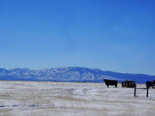 Cattle in the snow