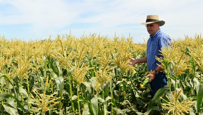 Dave Gisler, a Porterville vegetable farmer, checks his sweet corn just a few days before it's harvested. File photo.