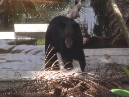 A bear in a pool can be equally satisfying as a hot tub. This one took a dip in a pool.
