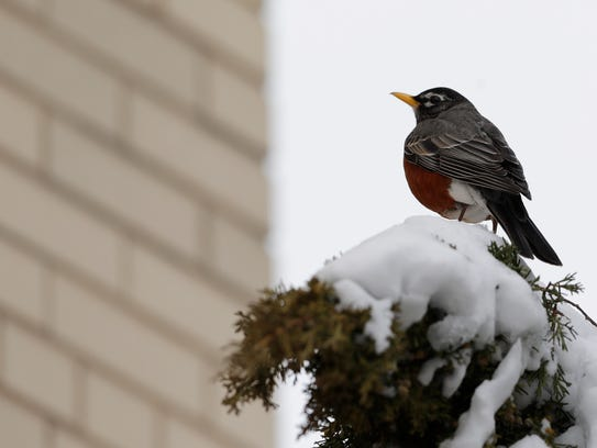 A robin perches on a shrub outside City Hall in downtown