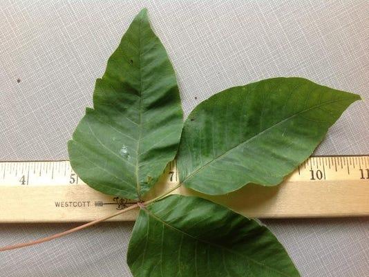 06 22 2015 Poison ivy