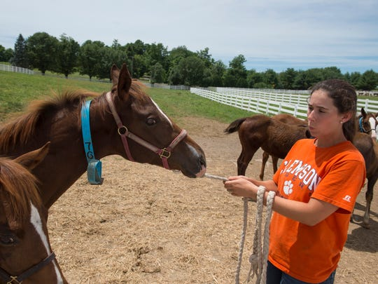 Erika Jones, an intern from Clemson University, coaxes a weanling foal from the pasture to its stall in the barn Tuesday afternoon.