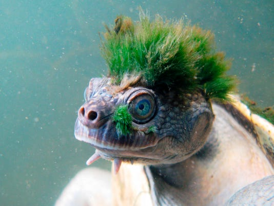 australia s punk turtle added to list of endangered reptiles