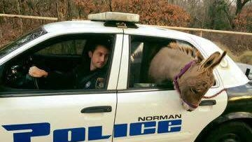 Norman Police Department picks up a donkey in Oklahoma.
