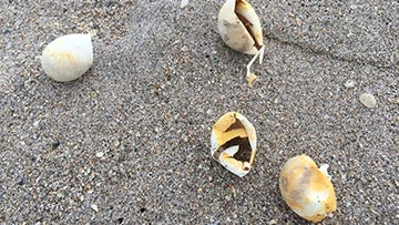 Sea turtle eggs leave a trail on local beaches, as newly hatched turtles make their way to the ocean.