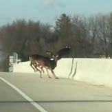 A herd of deer jumped the 80th Street SW bridge over Highway 30 in Cedar Rapids on Sunday, Dec. 10, 2017.