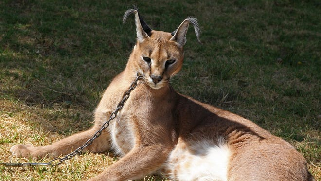 The tufted ears on a caracal cat offer improved hearing in tall grass