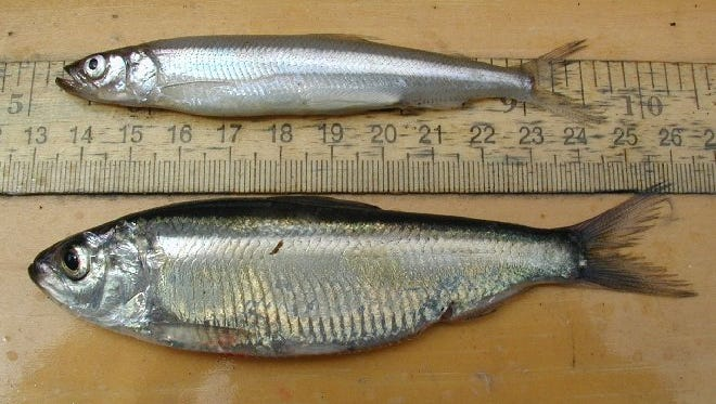An alewife, at bottom - the first ever collected from Vermont portions of Lake Champlain in 2005 - is pictured with a native rainbow smelt.