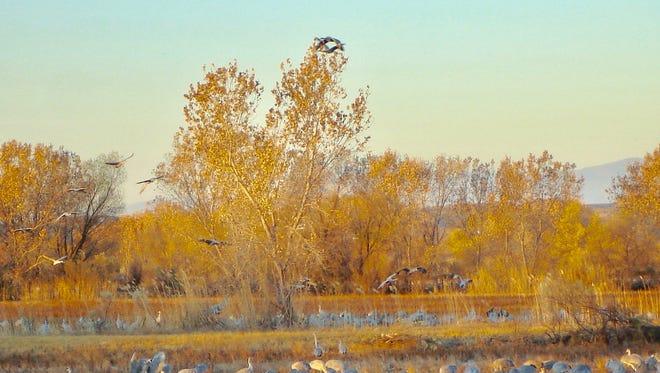 Sandhill cranes feed in the Bosque del Apache marsh.