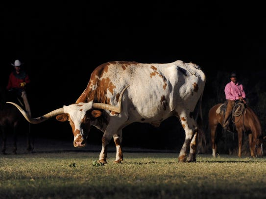 Cowboys watch over the herd of longhorn cattle during