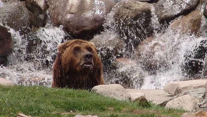 Sam, a bear at the Grizzly and Wolf Discovery Center, was part of a story on ways to have fun in the greater Yellowstone area.