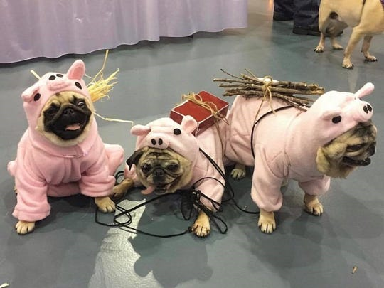 These pugs participated in the costume contest at last