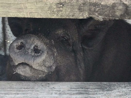 """Emmitt, Eastpoint resident Whitney Vause's pig, was found dead after the fire, along with the family's two ducks. """"They were the pig's best friends -- they lived in the pen together,"""" she said."""
