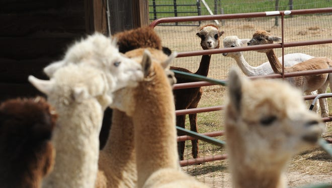 Freshly shorn alpacas look over at the rest of their herd as they wait for their turn at By The Bay Alpacas in Pungoteague, Va. on Thursday, March 31, 2016.