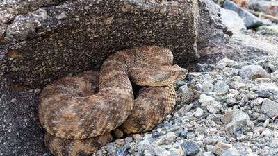 A speckled rattlesnake appears in this Desert Sun file photo. An expert says it may have been the type that bit a girl on an Indian Wells trail Sunday. Officials say rattlesnakes are active during the summer because they like warm conditions.