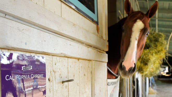 California Chrome looks on from the barn at Santa Anita Race Track, Monday, Oct. 27, 2014, in Arcadia, Calif.