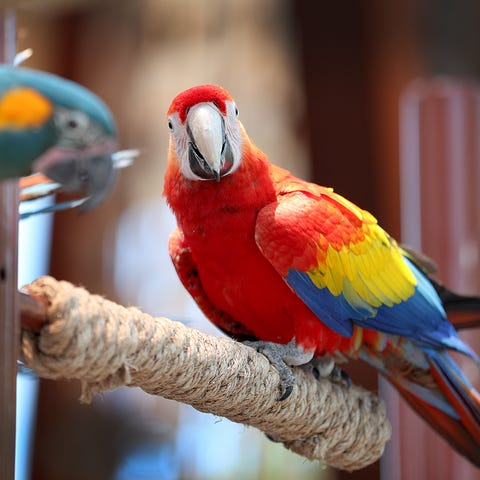 The macaws make an appearance for an afternoon...
