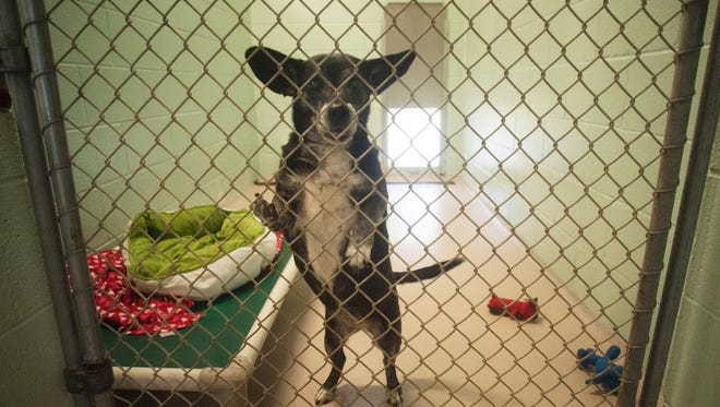 A chihuahua dachshund mix  named Onyx is shown at the Cumberland County SPCA animal shelter, Thursday, Oct. 12, 2017. The shelter is facing closure.