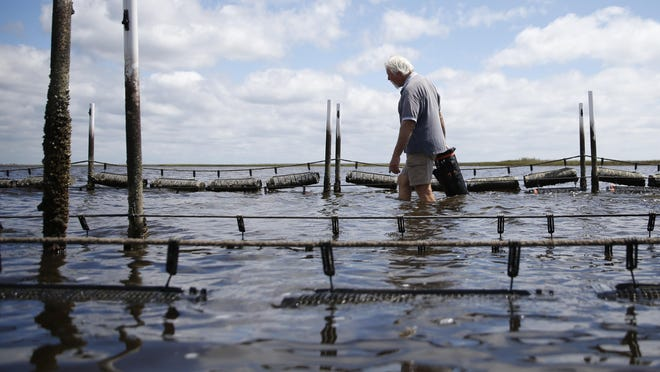 Tim Jordan, a student of TCC's Oyster Aquaculture program, wades through the knee deep water at low tide to deposit some of his young oyster cages at the school's farm on Sept. 18.