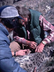 Rodney Jackson, Ph.D. works put a radio tracker on a snow leopard. Jackson is one of six finalists for the 2018 Indianapolis Prize, the world's top animal conservation award with a $250,000 cash prize.