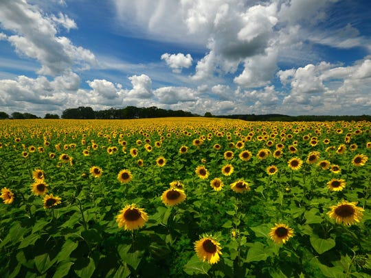 A field of sunflowers in full bloom are a major draw