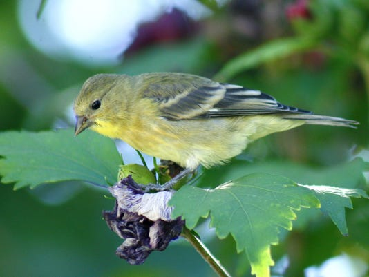 Lesser Goldfinch female - Jacque Lowery.jpg