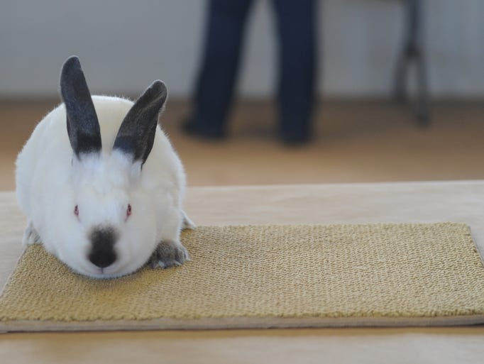 A rabbit waits to be judged at the AHS-CHS Livestock