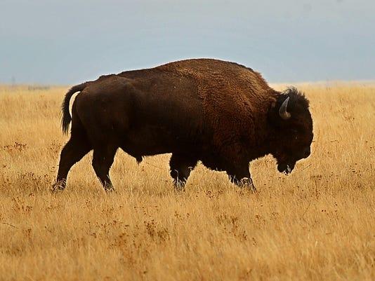 -02072012_Ft Belknap Bison-K.jpg_20120217.jpg
