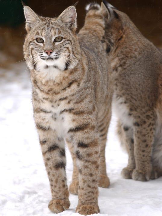 1- Bobcats