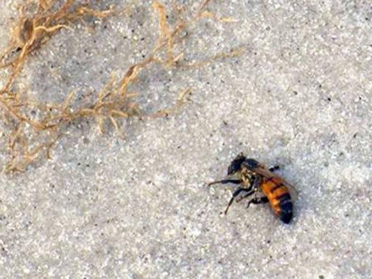 NDN bee-on-beach.jpg