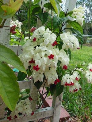 The bleeding heart vine can grow in shady areas.
