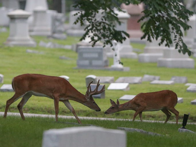 Thursday August 7th, 2014, the Crown Hill Cemetery  deer herd grazes amongst the graves in the early morning.