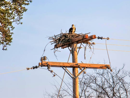 Initially the ospreys nested on this electrical pole, causing a power outage at the plant, and a real danger to the birds