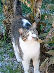 The ear of a feral cat is clipped to show that she