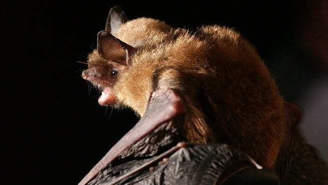 The gray bat now is an endangered species due to white-nose syndrome.