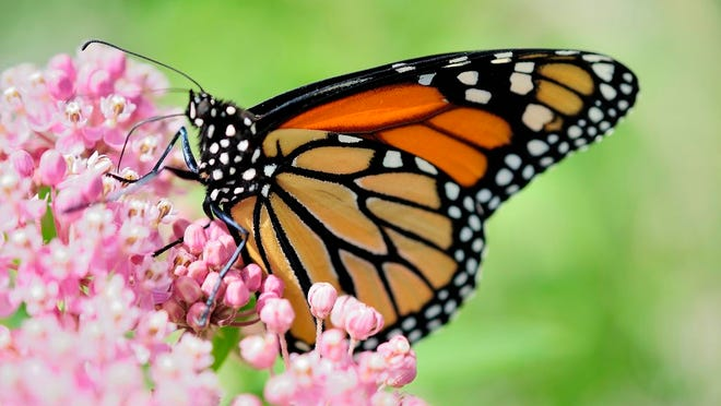 Monarch Butterflies are an important pollinator species that need native plants