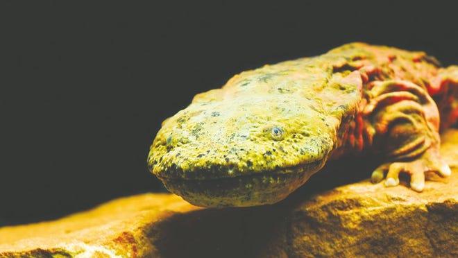 Eastern hellbender salamanders in the Ozarks can grow up to 2.5 feet long.