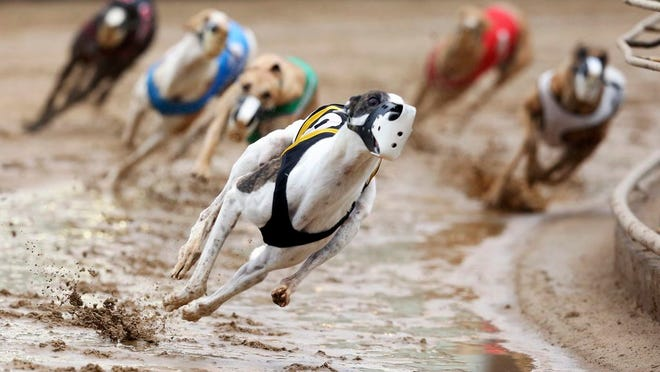 FILE - In this May 17, 2020, file photo, Greyhounds compete in a race at Iowa Greyhound Park in Dubuque, Iowa. U.S. Reps. Tony Cardenas, D-California., and Steve Cohen, D-Tennessee, have introduced legislation Wednesday, July 29, 2020, that would ban greyhound racing in the U.S. The bill comes after a group that has fought against dog racing said it has videos showing racing greyhounds being trained with live rabbits in at least three Midwestern states.