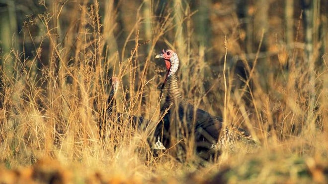 MDC fall firearms turkey season runs Oct. 1-31. Get details about fall turkey hunting from MDC's 2020 Fall Deer and Turkey Hunting Regulations and Information booklet.