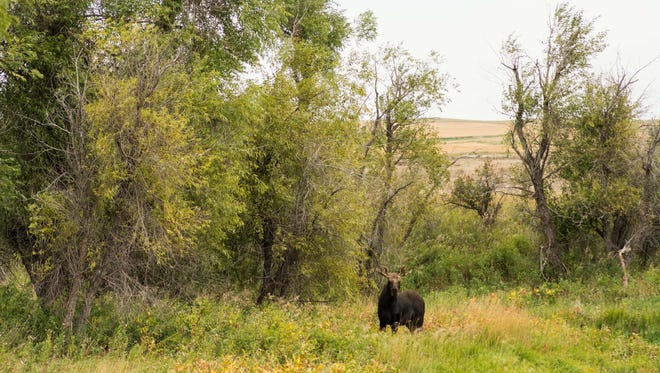 Moose are sometimes showing up in shelter belts in northeastern Montana.