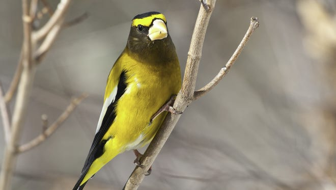 The evening grosbeak is a declining species in the area.