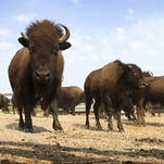 The bison may soon became the national mammal if President Obama signs a bill giving the nation's largest land animal roughly equal standing to the bald eagle.