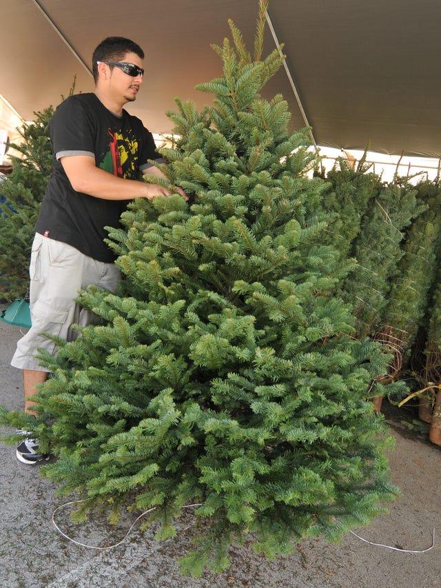Fresh Christmas Trees.Pacific Daily News