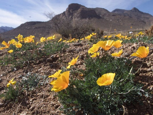 Frankin Mountains Poppies