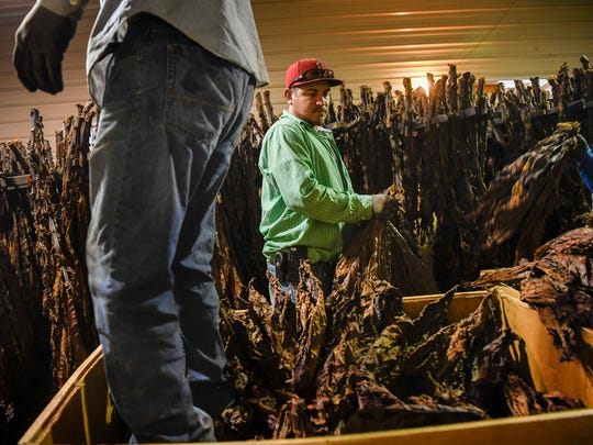 Jhony Aguila works with other migrant workers processing tobacco leaves at the small farm in Bumpus Mills, Tenn., Tuesday, Oct. 24, 2017.