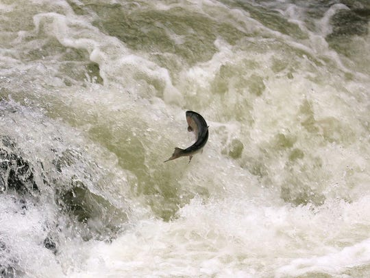 May, 2014: Bob Minnie took this shot of trout jumping